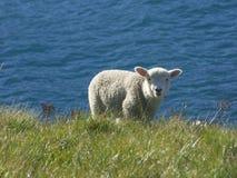 Peu agneau attrapé par surprise photo libre de droits