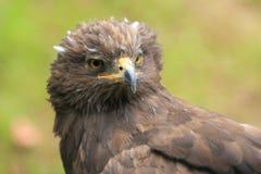 Peu aigle repéré photo stock