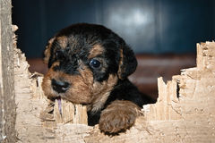 Peu airedaleterrier Photographie stock