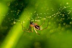 Peu araignée sur un Web avec des baisses de l'eau photographie stock libre de droits
