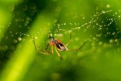 Peu araign?e sur un Web avec des baisses de l'eau images libres de droits