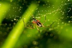 Peu araign?e sur un Web avec des baisses de l'eau photo libre de droits