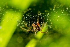 Peu araign?e sur un Web avec des baisses de l'eau image libre de droits