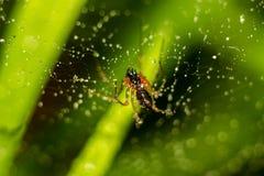 Peu araign?e sur un Web avec des baisses de l'eau photos libres de droits