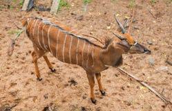 Peu cerfs communs dans le zoo de Thaiiland photographie stock libre de droits