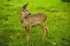 Peu cerfs communs sur un pré avec l'herbe verte photo libre de droits
