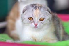 Peu chaton écossais de pli avec les yeux jaunes photographie stock
