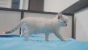 Peu chaton blanc mignon mignon se reposant sur le lit dans la chambre à coucher peu d'animal familier de minou avec les yeux tris banque de vidéos