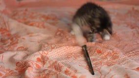Peu chaton drôle gris jouant avec une brosse banque de vidéos