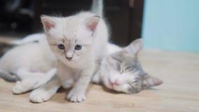 Peu chaton mignon marche à côté d'une maman de sommeil de chat petit chaton mignon dormant à côté de la maman de chat amour de so clips vidéos