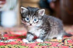 Peu chatons aux yeux bleus photo libre de droits