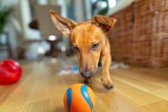 Peu chien à la maison dans le salon jouant avec ses jouets photo stock