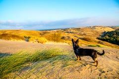 Peu chien dans le paysage dunaire photographie stock