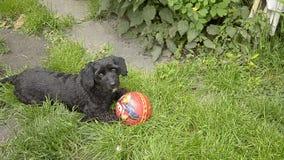 Peu chien jouant avec la boule banque de vidéos