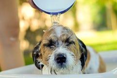 Peu chien se baigne dans une cuvette en plastique dans le jardin images libres de droits