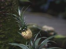 Peu d'élevage d'ananas Photo libre de droits