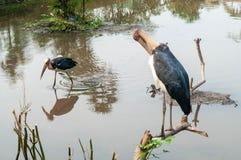 Peu d'adjudant ou grands oiseaux Photographie stock libre de droits