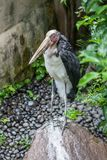 Peu d'adjudant, un oiseau exotique en parc d'oiseau de Bali photo libre de droits
