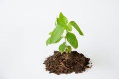 Peu d'arbre avec l'élevage de sol Photo libre de droits