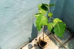 Peu d'arbre de Bodhi dans le pot photographie stock