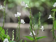 Peu d'herbe de fleur blanche Vous-même en nature Images libres de droits