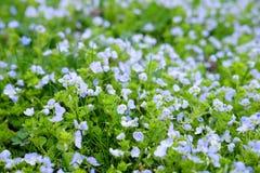 Peu d'horticulture bleue de ressort dans le domaine Images stock
