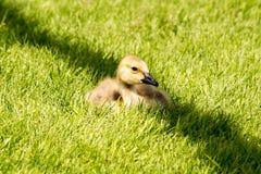 Peu d'oie Gosling de Canada à l'ombre Image stock
