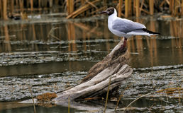 Peu d'oiseau de Chira Photos libres de droits