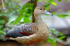 Peu d'oiseaux mignons siffleurs de javanica de Dendrocygna de canard de la Thaïlande Photo stock