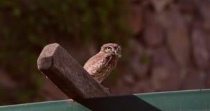 Peu d'Owl Flies Away banque de vidéos