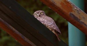 Peu d'Owl Looking à la caméra banque de vidéos