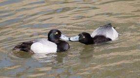 Peu de baisers de canards de fuligule milouinin Photographie stock
