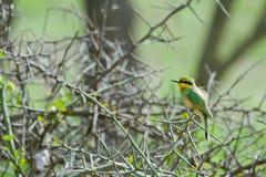 Peu de Bee-eater Photographie stock libre de droits
