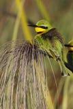 Peu de Bee-eater - delta d'Okavango - le Botswana Photos libres de droits