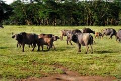 Peu de buffles africains dans un domaine d'herbe. Photo stock