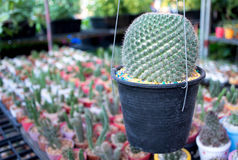 Peu de cactus Photos stock