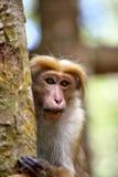 Peu de callitriches ou guenons de wilde caractérisent le paysage des forêts tropicales Photo stock
