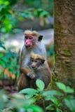 Peu de callitriches ou guenons de wilde caractérisent le paysage des forêts tropicales Photographie stock libre de droits