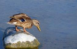 Peu de canard de Mallard se tenant sur la grande roche regardant au-dessus du bord dans l'eau Images stock