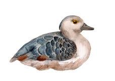 Peu de canard siffleur Photo stock