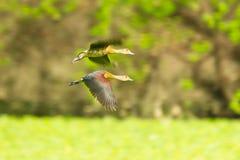 Peu de canard siffleur Images libres de droits