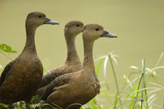 Peu de canard siffleur Photographie stock
