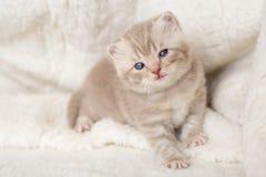 Peu de chaton aux oreilles tombantes léger avec des yeux bleus sur un tapis de fourrure Photos stock