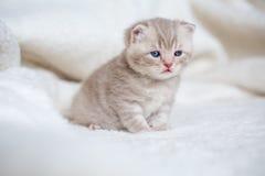 Peu de chaton aux oreilles tombantes léger avec des yeux bleus sur un tapis de fourrure Photographie stock libre de droits