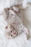 Peu de chaton aux oreilles tombantes léger avec des yeux bleus sur un tapis de fourrure Image stock