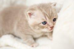 Peu de chaton aux oreilles tombantes léger avec des yeux bleus sur un tapis de fourrure Image libre de droits