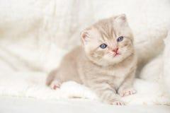 Peu de chaton aux oreilles tombantes léger avec des yeux bleus sur un tapis de fourrure Images libres de droits