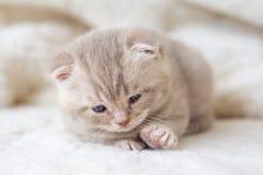 Peu de chaton aux oreilles tombantes léger avec des yeux bleus sur un tapis de fourrure Photographie stock
