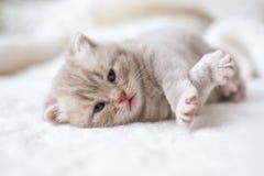 Peu de chaton aux oreilles tombantes léger avec des yeux bleus sur un tapis de fourrure Photos libres de droits