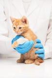 Peu de chaton de gingembre avec la jambe dans le bandage au vétérinaire Photographie stock